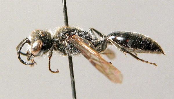 Самка. Koehler. ZSM Entomology - Hymenoptera Image Archive