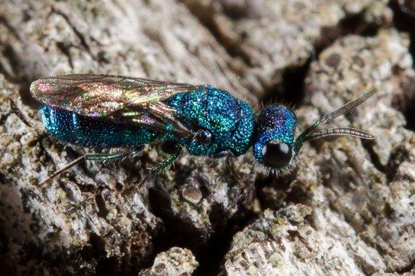 Photo © Fabricius / Galerie du Monde des insectes / www.galerie-insecte.org. CC BY-NC (2019)