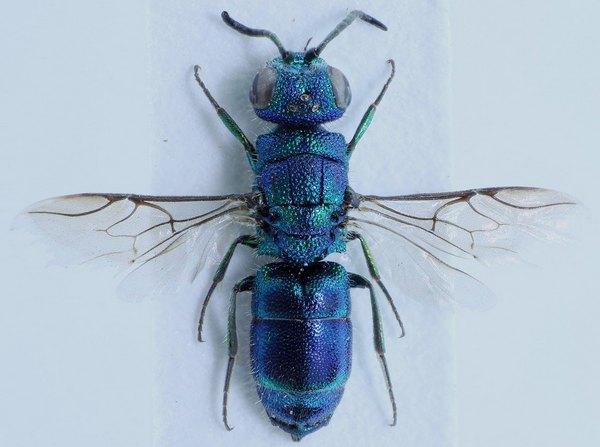 Photo © David Ignace / Galerie du Monde des insectes / www.galerie-insecte.org. CC BY-NC (2019)