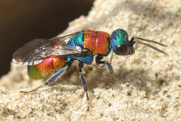 Photo © Сongo / Galerie du Monde des insectes / www.galerie-insecte.org. CC BY-NC (2019)