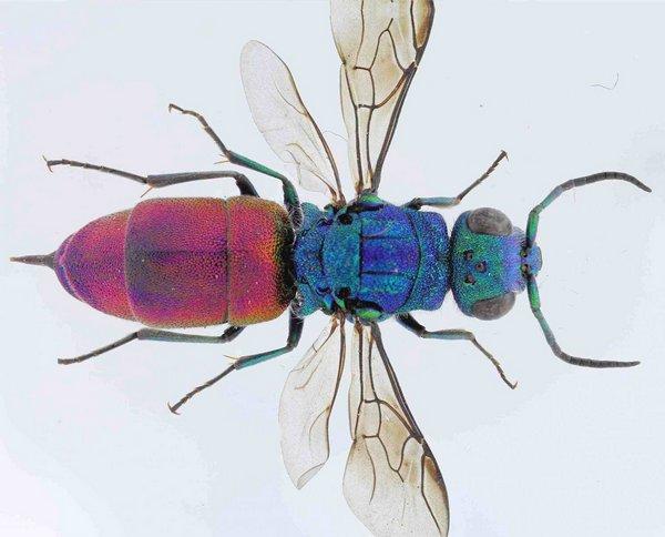 Photo © Nicolas Paris / Galerie du Monde des insectes / www.galerie-insecte.org. CC BY-NC (2019)