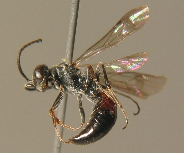 Самец. Wald. ZSM Entomology - Hymenoptera Image Archive