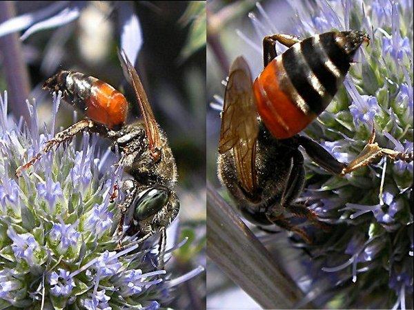 Photo © Jean DEXHEIMER / Galerie du Monde des insectes / www.galerie-insecte.org. CC BY-NC (2019)
