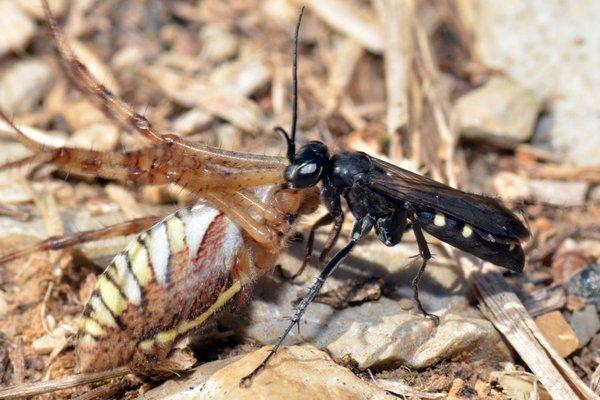 Photo © Norbert Verneau / Galerie du Monde des insectes / www.galerie-insecte.org. CC BY-NC (2019)