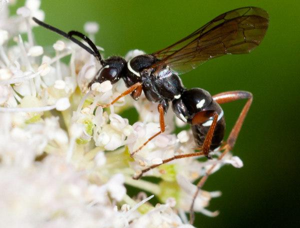 Photo © Pierre Duhem / Galerie du Monde des insectes / www.galerie-insecte.org. CC BY-NC (2019)