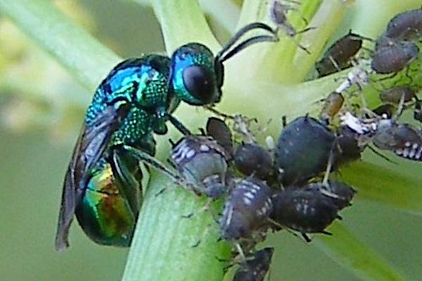 Photo © H. Dumas / Galerie du Monde des insectes / www.galerie-insecte.org. CC BY-NC (2019)