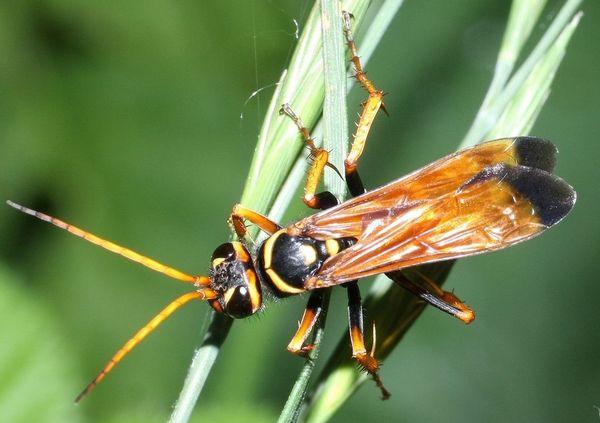 Photo © Lauriaut / Galerie du Monde des insectes / www.galerie-insecte.org. CC BY-NC (2019)