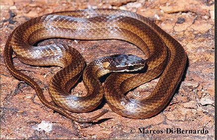 Taeniophallus bilineatus