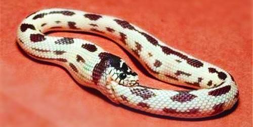 Un serpent roi s'autodévorant