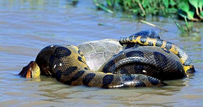 Anaconda vert (Eunectes murinus)