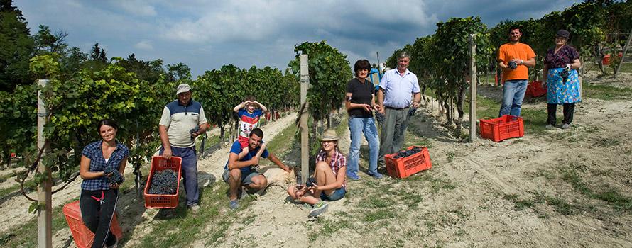 Het team van Giovanni Rocca tijdens de oogst: iedereen steekt een handje mee uit