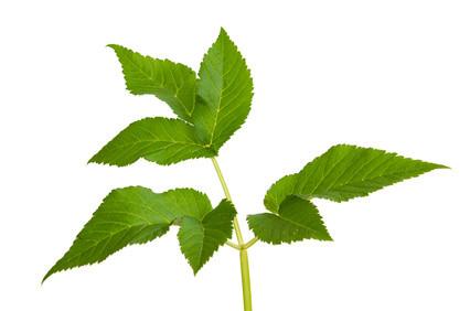 Gierschpflanze