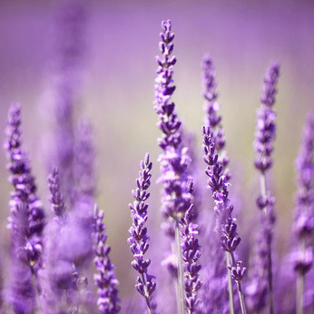 Makrofotografie Fotokurs Lavendel