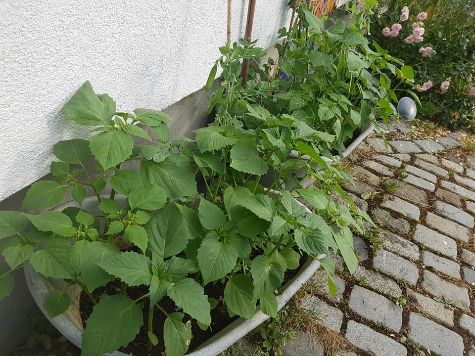 Tomatillos in Zinkwannen