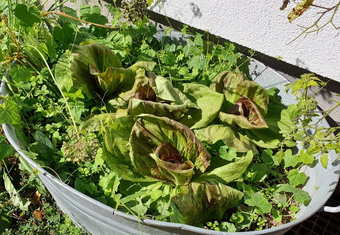 später Salat
