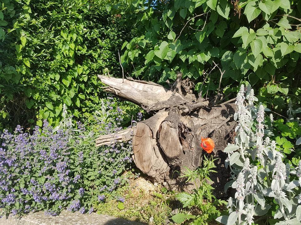 große Wurzel im Vorgarten