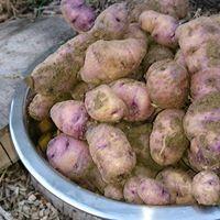 Kartoffelernte 2016 - aus zwei Pflanzsäcken!