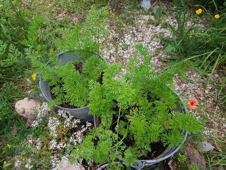 Karotten im Eimer