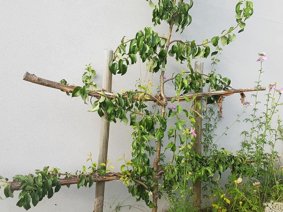 Birnenspalier