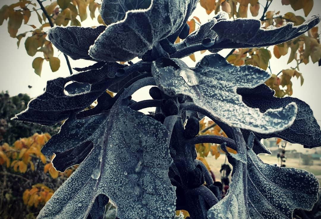 Wintergemüse - Rosenkohl