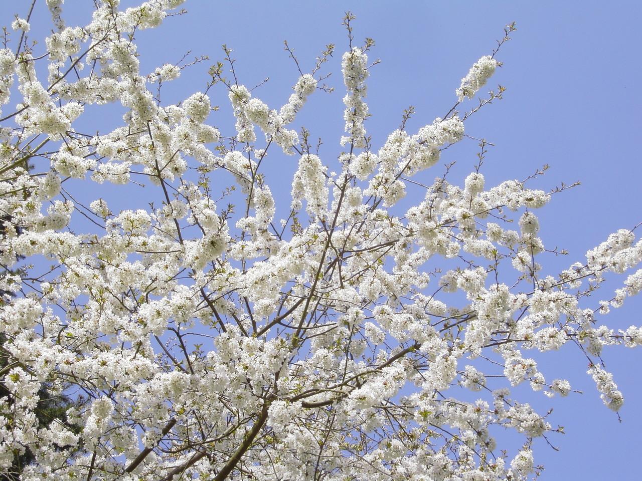 Kirschlüte