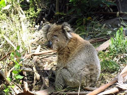 Koala sieht seine ersten 2 Radler