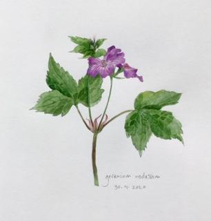 Annette Fienieg: Geranium nodosum 30-4-2020