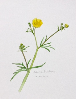 Annette Fienieg: Buttercup 22-4-20