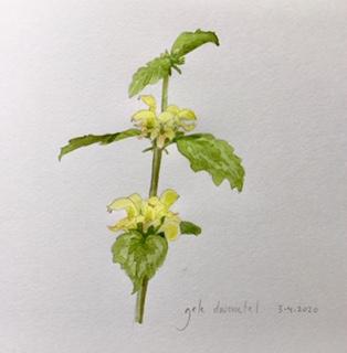 Annette Fienieg; Yellow dead nettle