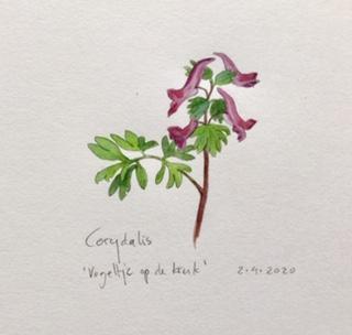 Annette Fienieg: Corydalis