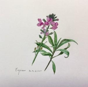 Erysium, Annette Fienieg 2020