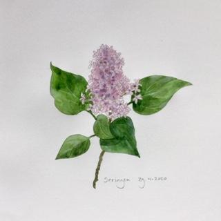 Annette Fienieg: Lilacs 29-4-2020