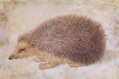 Albrecht Dürer: hedgehog