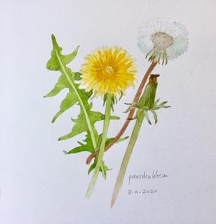 Dandelion, Annette Fienieg 8-4-20