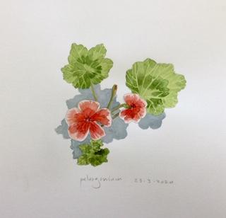 Pelargonium, Annette Fienieg 2020