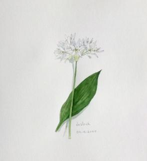Annette Fienieg: Wild garlic 24-4-20