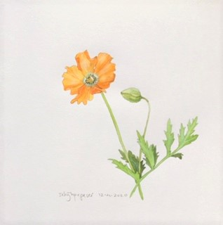Annette Fienieg: Welsh poppy 12-4-2020