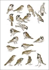 Peter Vos: sparrows