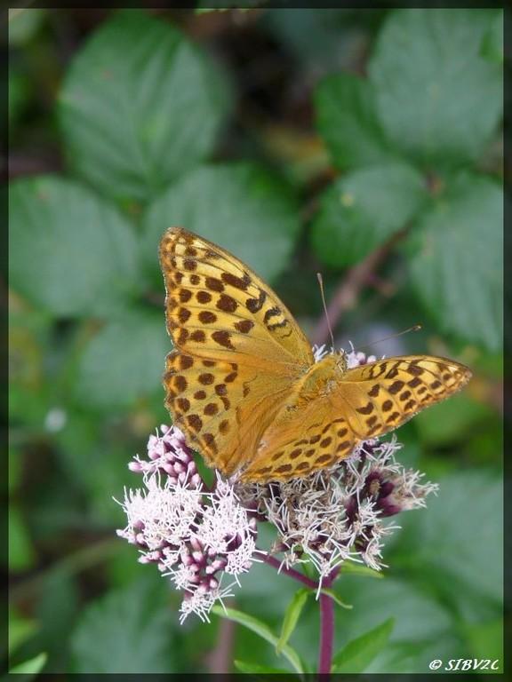 Papillon surpris sur les berges de la Véronne