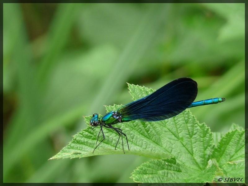 Une illustration de la richesse faunistique de nos vallées, ci dessus une demoiselle bleue, probablement une Calopteryx Virgo. Presque de la même famille que les libellules, les demoiselles sont plus petites et peuvent replier leurs ailes. Elles sont faci