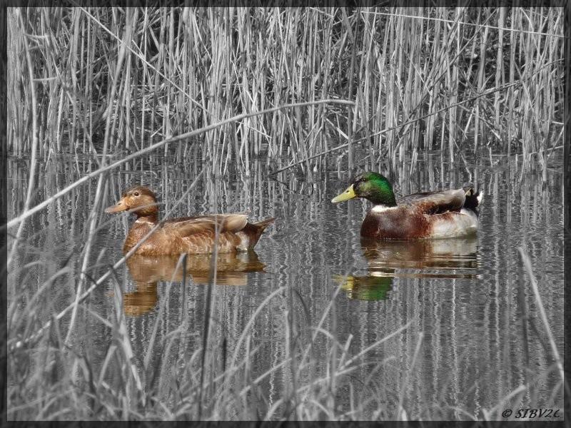 """Deux canards surpris sur un affluent de la Couze : le Fonfourcade.   Vos yeux ne vous jouent pas des tours, la photo a subit un petit """"effet spécial""""... une dé-saturation partielle."""