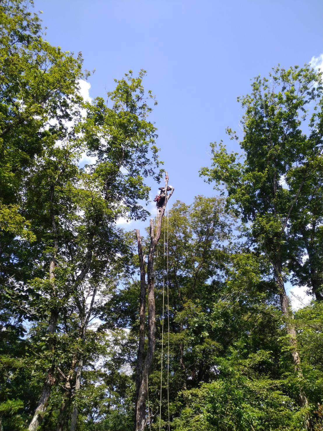 愛知県新城市作手の枯れたコナラの木の伐採。