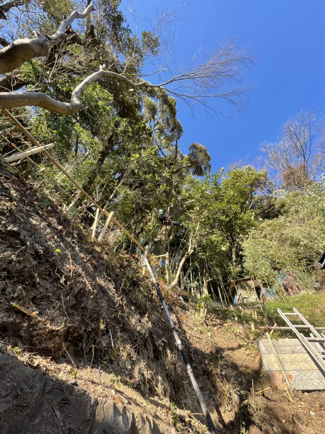 神奈川県中郡大磯町の高木剪定。