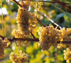 Albariño grape variety from Rias Baixas area. Juan Manuel Sanz/©ICEX.