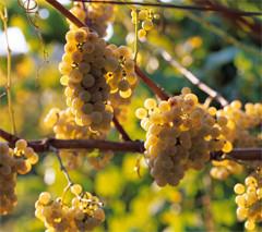 Albariño grape variety from Rias Baixas area. Juan Manuel Sanz/©ICEX.