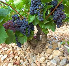 Spanish Garnacha vine. Juan Manuel Sanz/©ICEX (www.foodswinesfromspain.com)