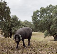 イベリコ豚 (Matías Costa/©ICEX)