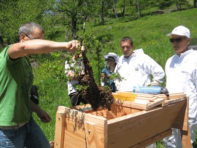 enruchement d'un essaim dans une ruche kenyane