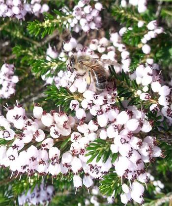 abeille sur bruyère callune