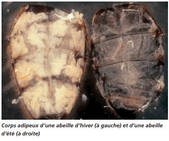 Coupe abdomen abeille adiposité